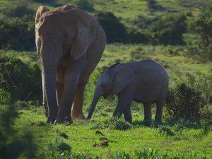 Νότια Αφρική_Red Elephant